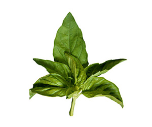 Seasonal Produce: Basil